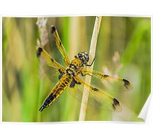 Four-spotted Chaser Dragonfly Poster