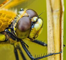 Four-spotted Chaser close-up. by MikeSquires