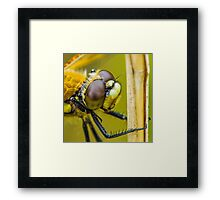 Four-spotted Chaser close-up. Framed Print