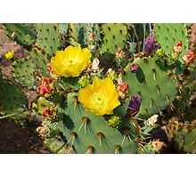 Blooming Cactuses Cactaceae Opuntia Photographic Print