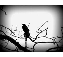 Crow- British Columbia Canada Photographic Print