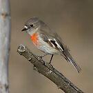 Female Scarlet Robin Canberra by Kym Bradley