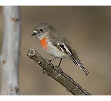Female Scarlet Robin Canberra Photographic Print