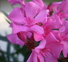 Pink Oleander Bunch by taiche