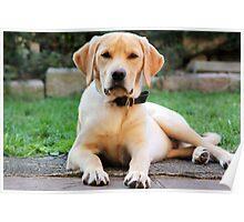 Maximus Labrador Retriever Gold Poster