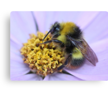 Bumble Bee on Cosmos Canvas Print