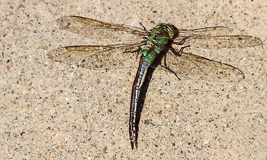 Dragonfly by heatherfriedman