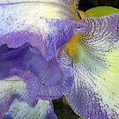 1671-blue iris by elvira1