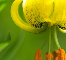 Beautiful Lily just beginning to open by ruthjulia