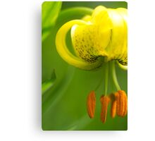 Beautiful Lily just beginning to open Canvas Print
