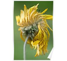 Dried chrysanthemum flower in the sunshine Poster