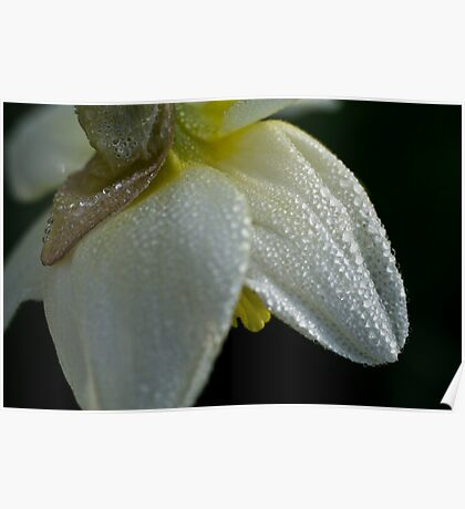 Spring daffodil with dewdrops Poster