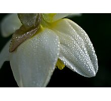 Spring daffodil with dewdrops Photographic Print