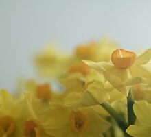 Soft Narcissi jostling by ruthjulia