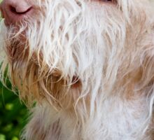 Orange & White Italian Spinone Dog Head Shot Sticker