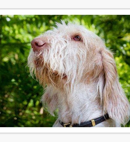 Orange and White Italian Spinone Dog Head Shot Sticker