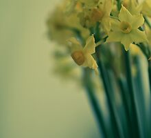 Bunch of narcissi standing tall by ruthjulia