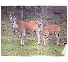Eland Mother And Young Poster
