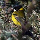 Golden Whistler  No  2  Canberra by Kym Bradley