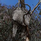 Pair of tawny frogmouth  Canberra Australia by Kym Bradley