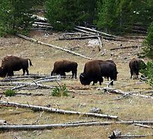 American Buffalo in Yellowstone National Park by Jan  Tribe