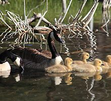 Goose family on water by zumi