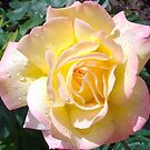 1685-beautiful rose by elvira1