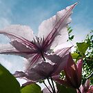 1687-pink clematis by elvira1