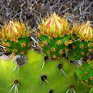 budding cactus blooms by Tim Horton