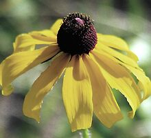 Black-Eyed Susan  by AngieDavies