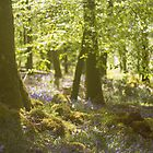 Bluebell Wood by lorrainem
