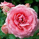 1689-pink roses by elvira1
