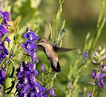 Hummingbird in Larkspur by Cassandra Scarborough