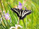 Pale Tiger Swallowtail Butterfly by Betty  Town Duncan