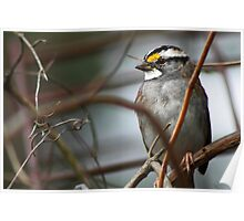 Can You See Me? - White-throated Sparrow Poster