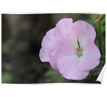 Geranium Flower Poster