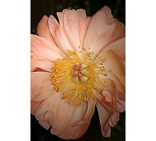 Peony in full bloom Photographic Print