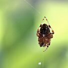 Spider on Silk by aprilann