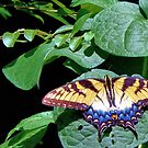 Eastern Tiger Swallowtail by aprilann