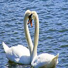 swan love by ejrphotography