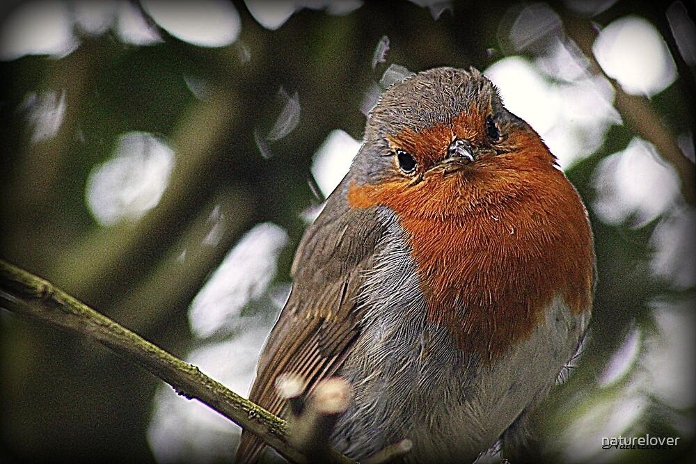 Robin Redbreast by naturelover