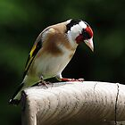 Goldfinch (UK) by Mick Gosling