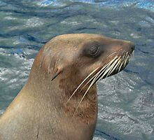 Australian Fur Seal by Margaret Saheed