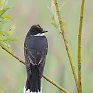 Eastern Kingbird Enjoying the Rain. by Daniel Cadieux