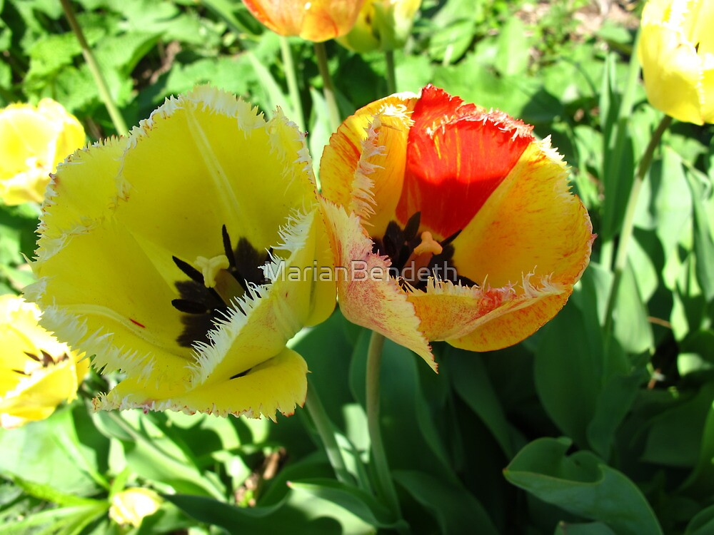 Two Tulips by MarianBendeth
