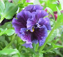 Shy Pansy by Pat Yager