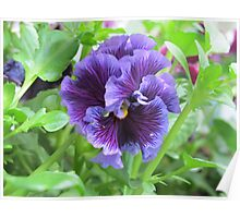 Shy Pansy Poster
