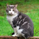 Mr Grey, the Grey & White Cat -  by Bev Pascoe
