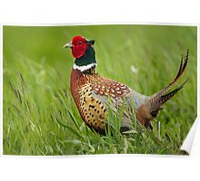Raised Tail Feathers Poster