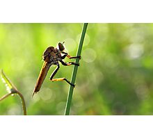 RobberFly In Morning Photographic Print